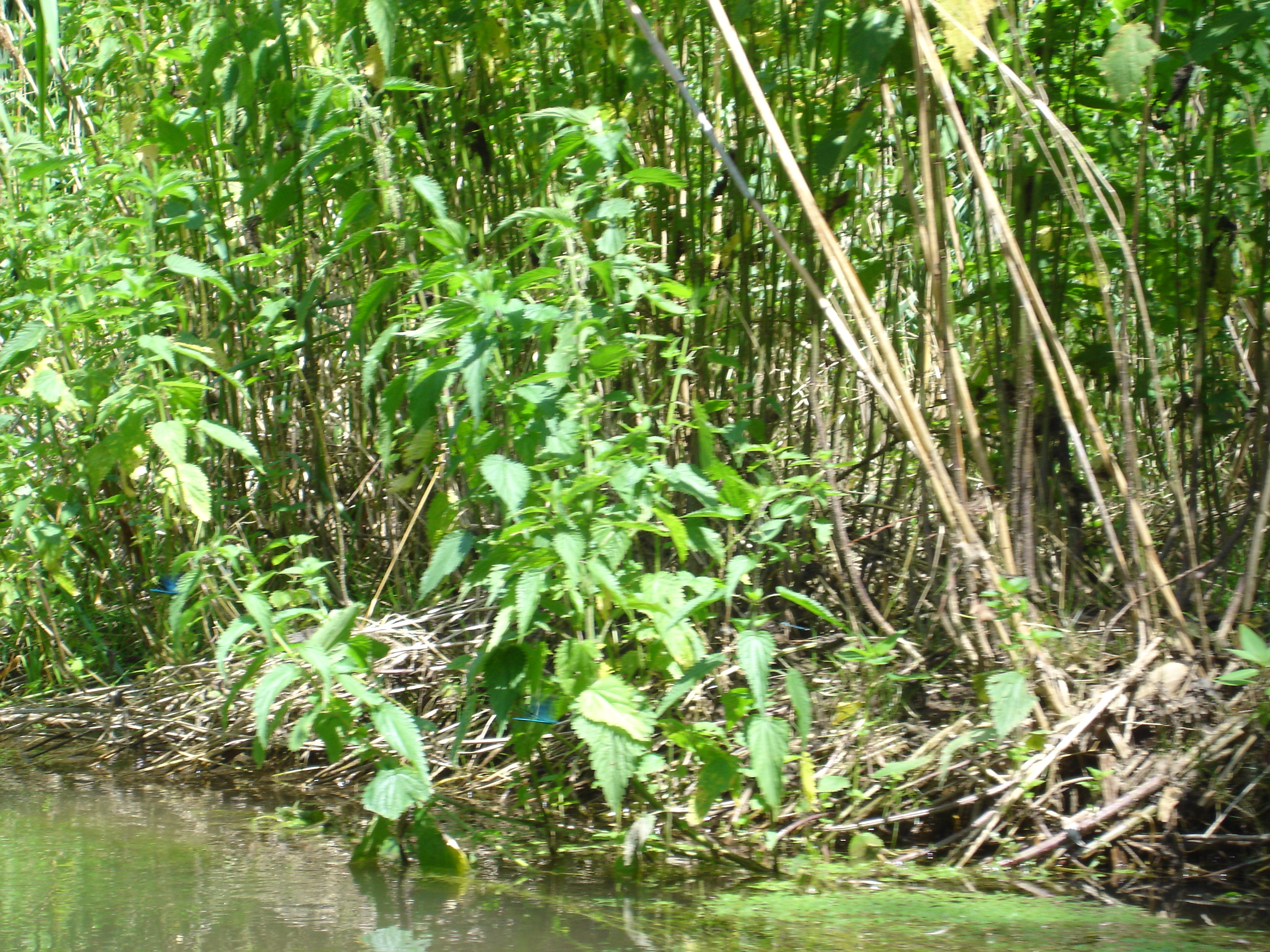 Taubergiessen: Natur mit Prachtlibellen