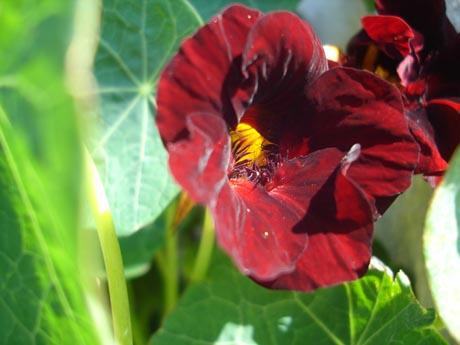 Tiefrote Blüte einer Kapuzinerkresse-Pflanze. Mehr solcher Bilder finden Sie unter www.ep-gallery.de .