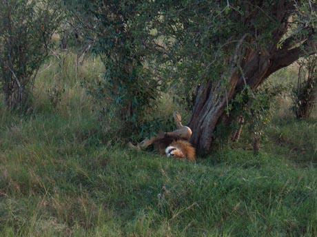 Ein Löwe in Kenia.