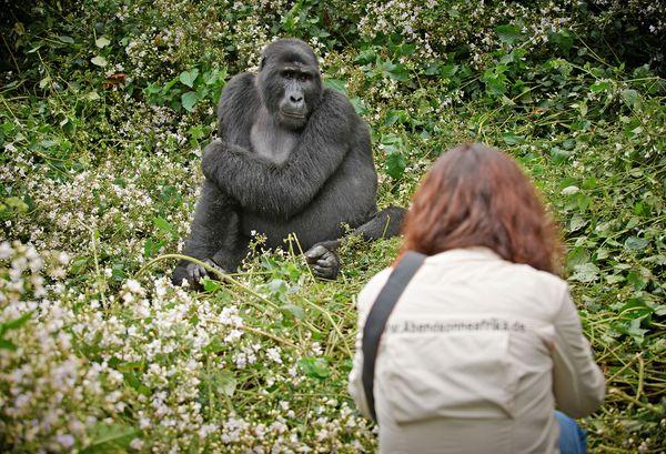 Beim Gorillatracking kommt man den sanften Riesen ganz nah. Foto: djd/Abendsonne Afrika/Jürgen Ritterbach