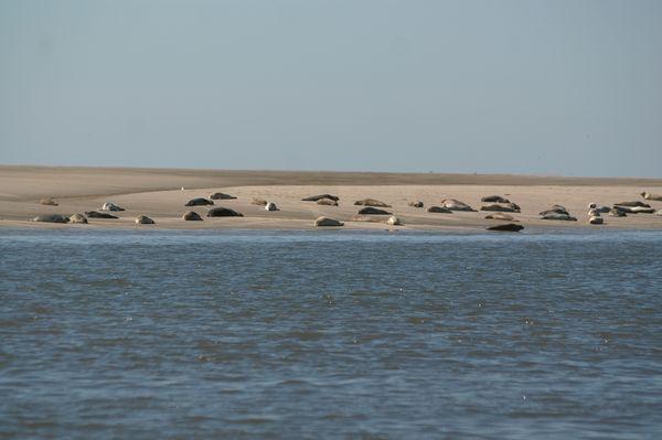 Seehunde auf Sandbank - Bild (c) Tanja Weinekötter / www.nordseetourismus.de