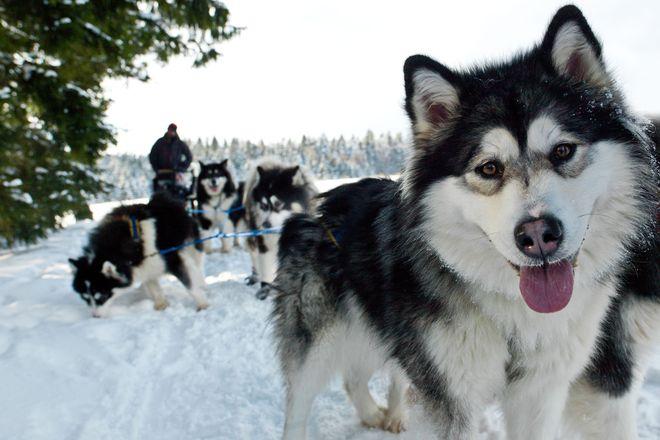 Ganzjährig kann man die sportlichen Schlittenhunde auf dem Huskyhof Dreisessel in der Region Dreiländereck näher kennenlernen. Foto: djd/ARGE Dreiländereck