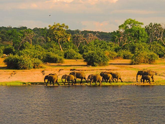 Am Chobe-Fluss und im Okavangodelta kommt man den vielen Dickhäuter-Herden besonders nah und kann viele familiäre Rituale beobachten. Foto: djd/Botswana Tourism Organisation